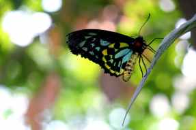 butterfly blue black yellow