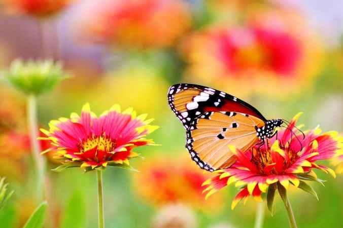 butterfly monarch on pink flower