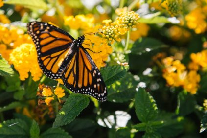 butterfly monarch on yellow flowers