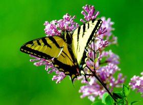 butterfly yellow on purple flowers