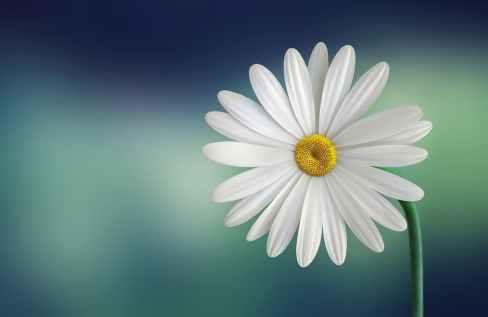 flower white single