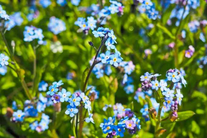 flowers blue wild