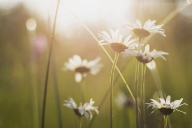 flowers white sunset