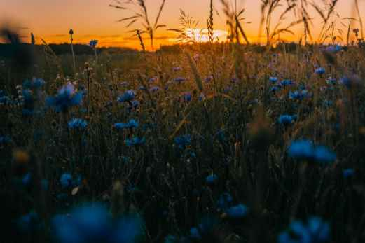 flowers blue wheat sunset