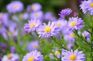 flowers light purple and white with yellow