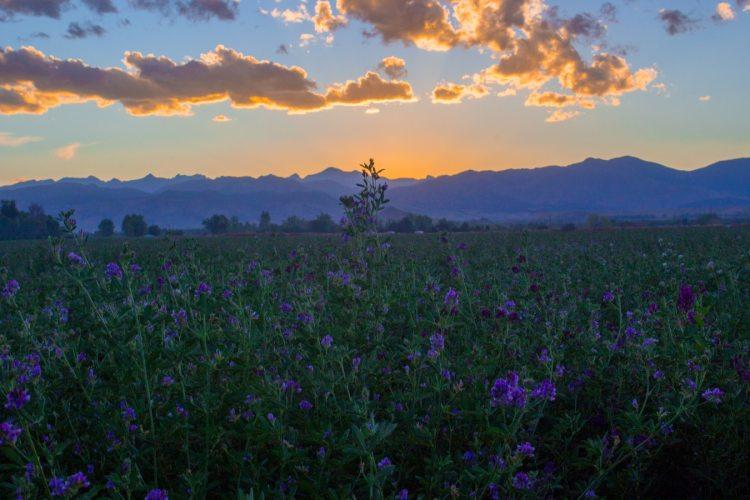 flowers purple with sunrise