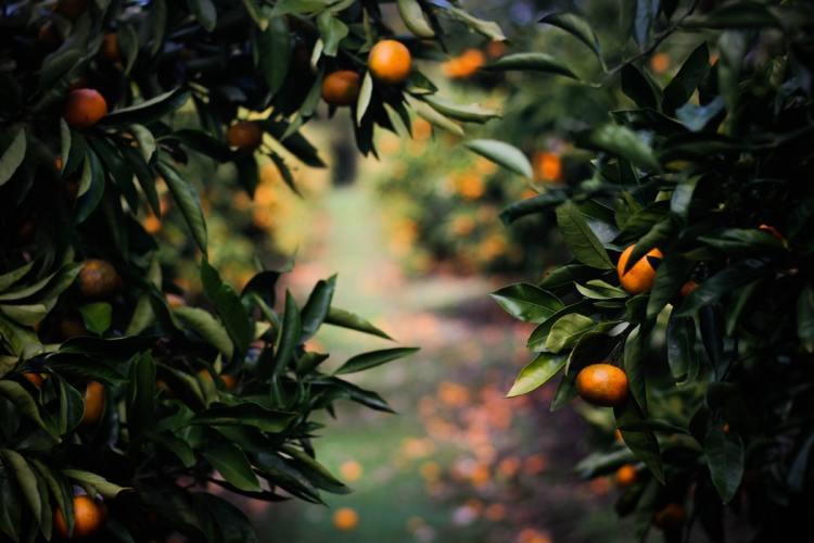trees with oranges